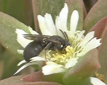 Pollinator of Delosperma sp