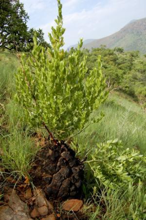 Dioscorea strydomiana
