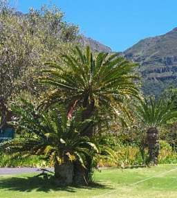Encephalartos alteninsteinii at Kirstenbosch