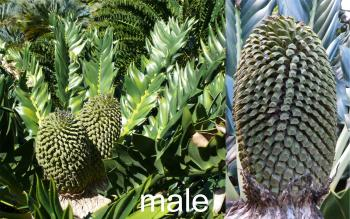 Encephalartos latifrons, male plant and cone