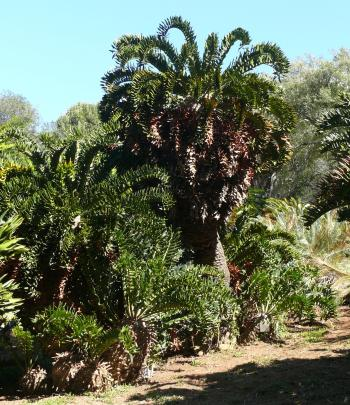 Encephalartos latifrons, one of the original plants collected by Pearson, planted in Kirstenbosch in 1914.