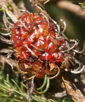 Erica sessiliflora red fruiting bodies