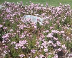 Bed of Erica ventricosa at Kirstenbosch