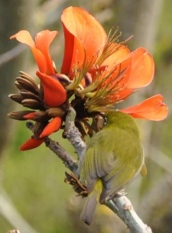 A Cape White-eye feeding on Erythrina caffra flowers. (Alice Notten)