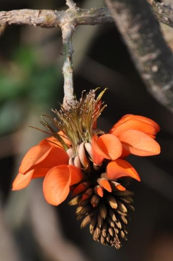 Erythrina caffra, flower head. (Alice Notten)