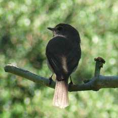 Flycatcher perching on branch