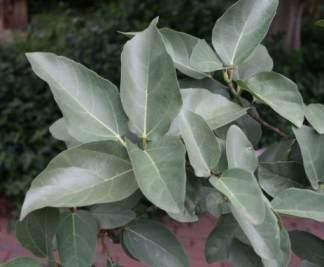 Foliage of Ficus sur