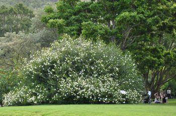 100 year old Gardenia thunbergia at Kirstenbosch