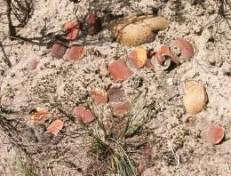 Gasteria armstrongii in habitat on coastal flats near the Gamtoos River. Note how well the plants are camouflaged.