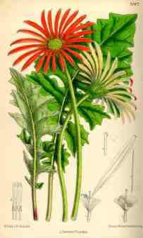 First illustration of Gerbera jamesonii in the Botanical Magazine 1889