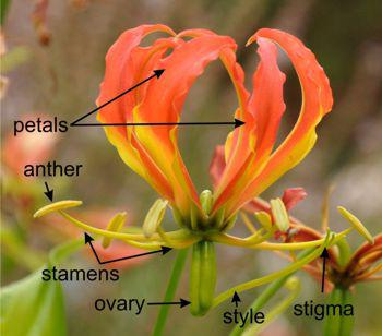 Gloriosa superba  flower parts
