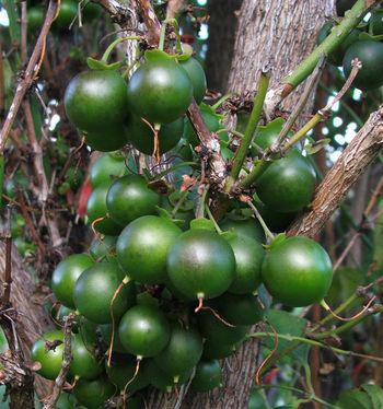 Spherical green berries that turn juicy and black when ripe