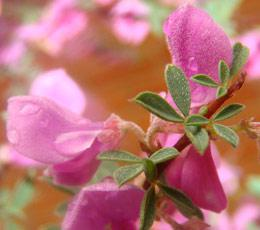 Indigofera nigromontana flowers and leaves