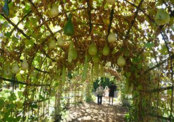 Gourd tunnel at Babylonstoren. Species not confirmed