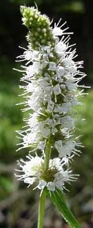 Mentha longifolia.  Photo G. Nichols