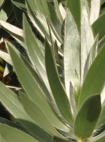 Leucadendron argenteum, hairy leaves.