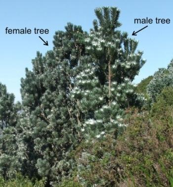 Leucadendron argenteum, female (L) and male (R) tree.
