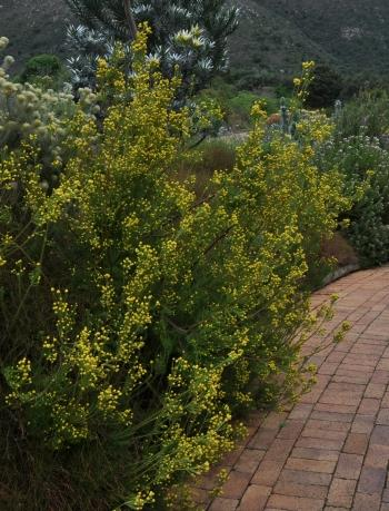 Leucadendron laxum, male plant in flower at Kirstenbosch NBG.