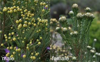Leucadendron linifolium | PlantZAfrica