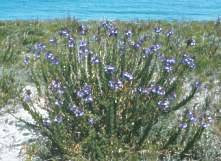 Lobelia valida growing on the coast.