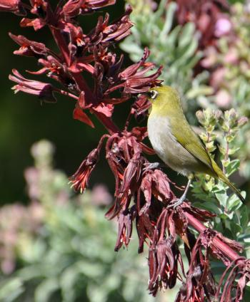 Cape White-eye feeding on the nectar in Melianthus major flowers.