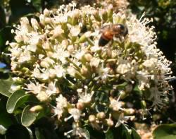 Bee pollinating Nuxia congesta flowers
