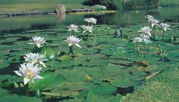 Water lilies in the pond at Kirstenbosch