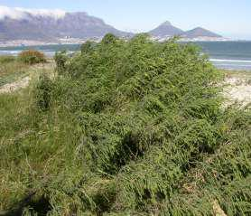 Passerina ericoides growing near Cape Town