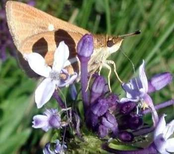 Skipper butterfly sipping nectar