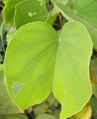 PiIiostigma thonningii leaves