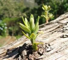 Buds sprouting from trunk