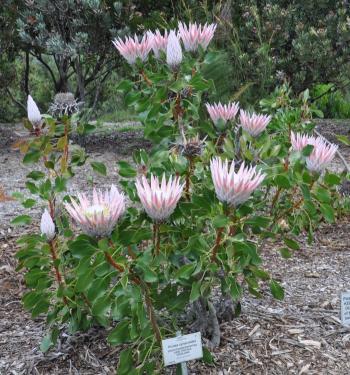 Protea Cynaroides Plantzafrica