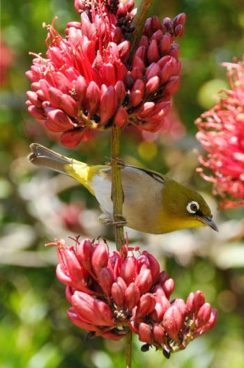 A Cape White-eye visiting Schotia brachypetala in Kirstenbosch NBG.
