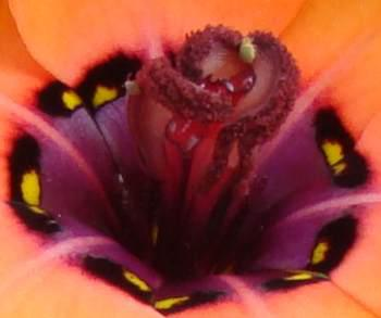 Curling anthers