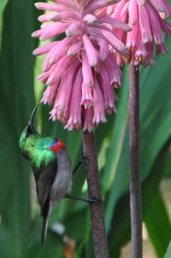 A Lesser Double-collared Sunbird feeding on Veltheimia bracteata at Kirstenbosch NBG.