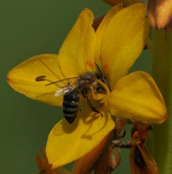 Honeybees visit but don't pollinate the flowers as they are too small to touch the anthers or stigma.