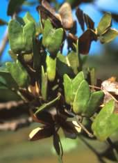 Leaves and fruit capsules
