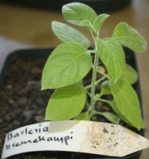 Young plant of B.bremekampii