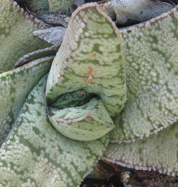 Leaf detail of Gasteria barbae