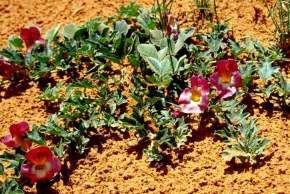 La Harpagophytum biologique - Bio Linéaires
