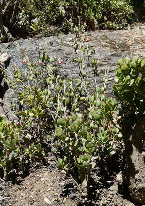 Cotyledon woodii growing in habitat