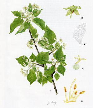 Dombeya cymosa plate by Gill Condy