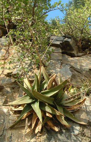 Gasteria loedolffiae growing in habitat