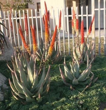 Aloe petricola, the two colour forms