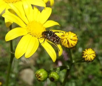 Senecio littoreus and beetle