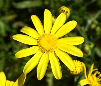 Senecio littoreus, flower