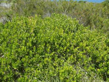 Searsia lucida growing on Robberg (Nicky vB)