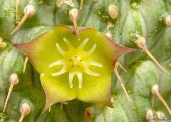 Hoodia flava flower (Martin Heigan).