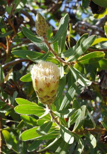 Protea mundii, open and developing flowerhead.