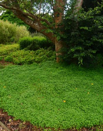 A good groundcover for companion planting with trees.